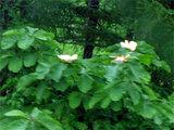 ほおのきの花