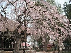 08-04-22長床としだれ桜