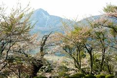 亀ヶ城の桜1