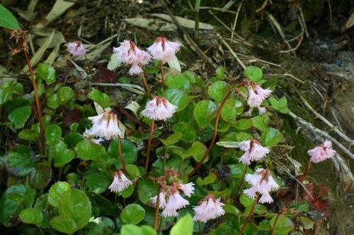 磐梯山の花「イワカガミ」