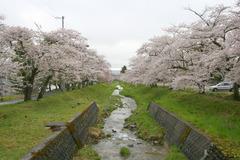 猪苗代観音寺川桜
