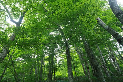 デコ平ブナの原生林110615