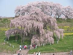 08-04-23滝桜