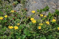 磐梯山の花「ミヤマキンバイ」