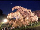 滝桜ライトアップと金星