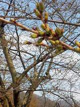 観音寺川の桜20110427