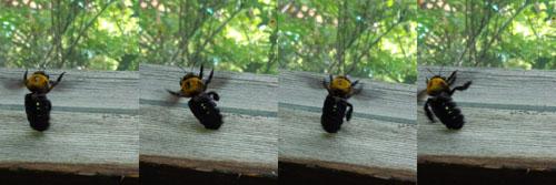 クマバチ(ペンションカレワラ)