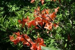 雄国沼の花 レンゲツツジ