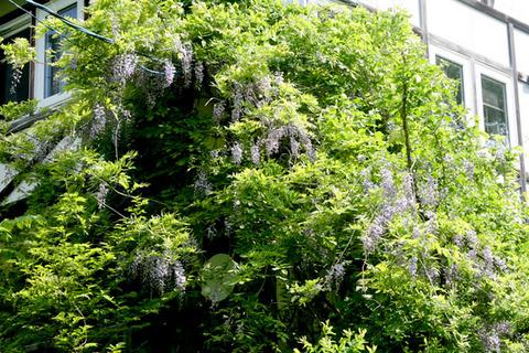 裏磐梯は藤の花が見ごろです