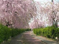 08-04-22しだれ桜散歩道