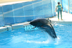 新江ノ島水族館 クジラ&イルカショー