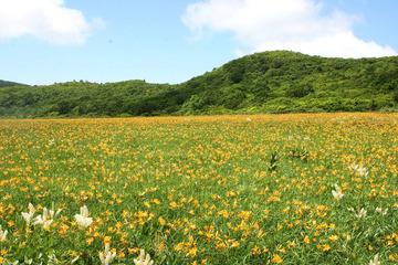 雄国沼の花 湿原のニッコウキスゲ