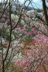 福島市花見山公園
