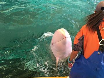 白いハナゴンドウクジラ
