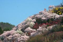 花見山090409