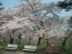 08-04-22御殿場公園の桜