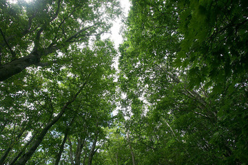 雄国沼の木 ぶなやみずならの木漏れ日