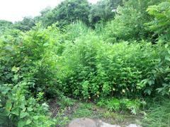 カレワラの除草3