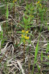 雄国沼の花 ヤナギトラノオ