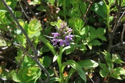 磐梯山の花「ハクサンチドリ」