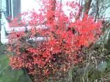 ドウタンツツジの紅葉