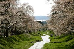 観音寺川桜祭り