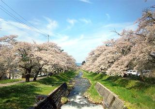 猪苗代 観音寺川の桜