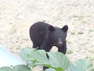 ペンションカレワラに熊出没