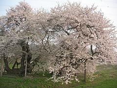 08-04-22石部桜
