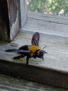 クマバチ2(ペンションカレワラ)