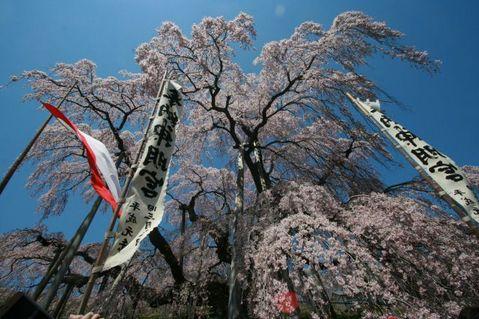 滝桜4月25日top